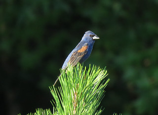 Blue Grosbeak | by mggoodwin56