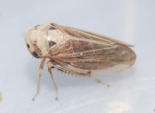 Macropsis fuscula