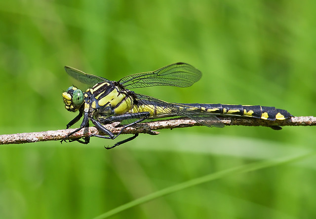 Splendid Clubtail ( Gomphus lineatifrons)