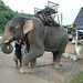 Elefante tailandés - Chiang Rai