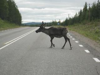 Swedish reindeer on road