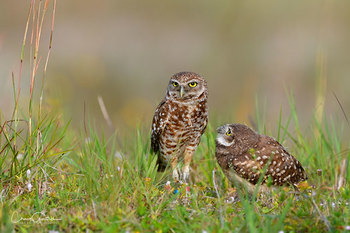 burrowingowls capecoral owl raptor owlet bird avian nature wildlife nikon d850