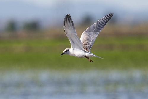 Juvenile Gull-billed Tern (Gelochelidon nilotica)