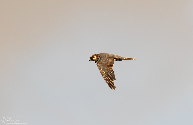 Hobby on the wing