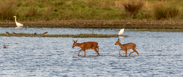 Roe deer crossing the lake