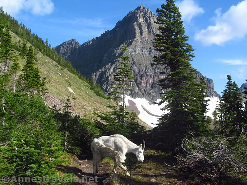 The goat finally got off the Reynolds Mountain Trail long enough for me to pass him, Glacier National Park, Montana