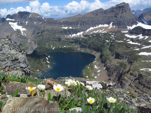 Eightpetal Mountain-aven Flowers on the Dragontail in Glacier National Park, Montana