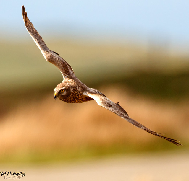 Hen harrier glides along road