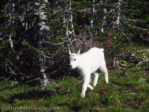Baby mountain goat following its mother across the Hidden Lake Trail in Glacier National Park, Montana