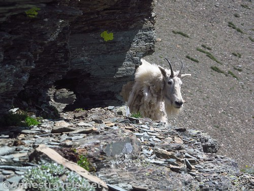 Mountain goat on the Dragontail in Glacier National Park, Montana