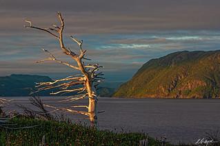 NL-095-Lone Tree at Dusk-1-Gros Morne