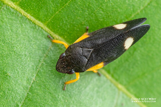 Froghopper (Cercopidae) - DSC_6488