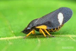 Froghopper (Cercopidae) - DSC_6483