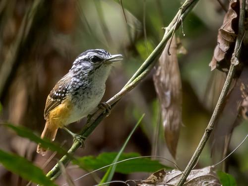 Spix's Warbling-Antibird/Cantador-estriado/Hormiguero cantarín de Spix (Hypocnemis striata)
