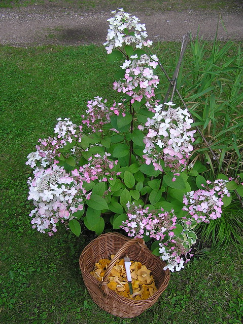 Hydrangea paniculata 'Wim's Red' & Chantarelles