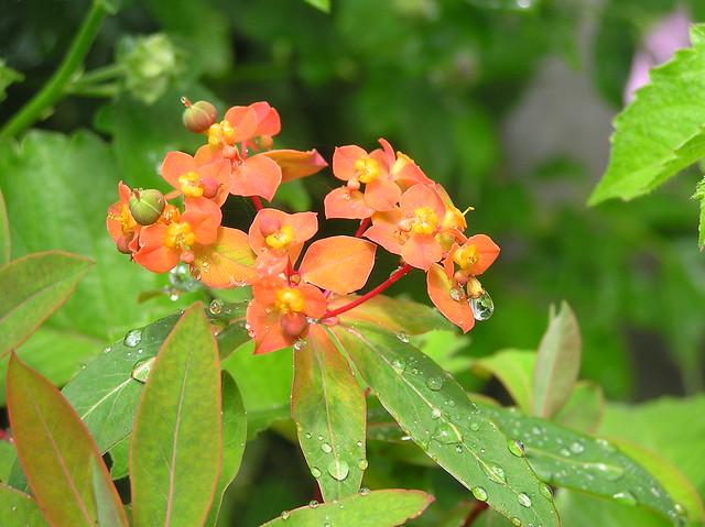 Euphorbia 'Fireglow'