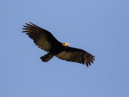 Forest Vulture/Urubu-da-mata/Jote de cola larga (Cathartes melambrotus)