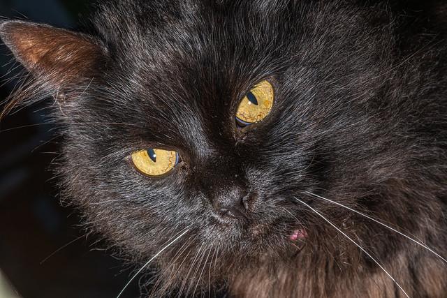 Mia, the black cat