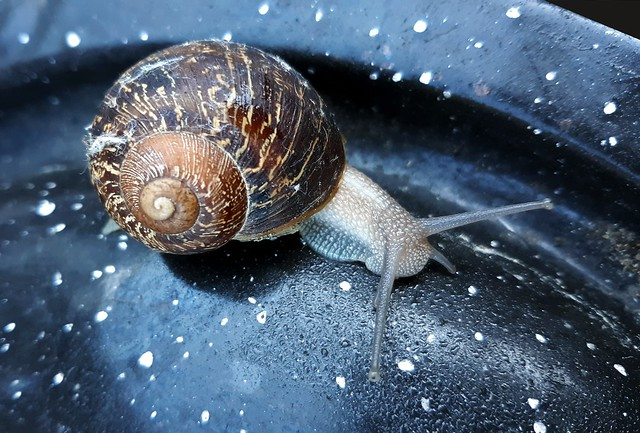 Out of Gazillion Trillion Billion or Many More Plants in the World to Chew on, this Snail is Crawling on a Metal Lid