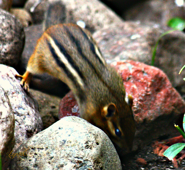 The last I have seen of the Chipmunk. Hope you come back soon.