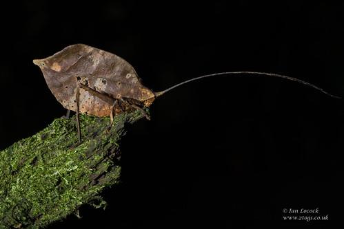 Brown Leaf Katydid