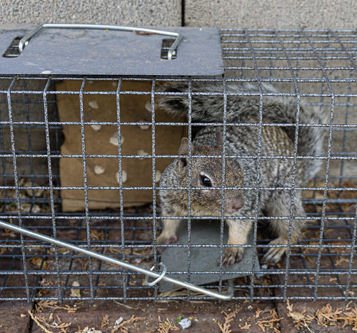 squirrel_in_trap-20190808-100