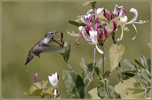 nature outdoor animal bird hummingbird annashummingbird calypteanna honeysuckleflower