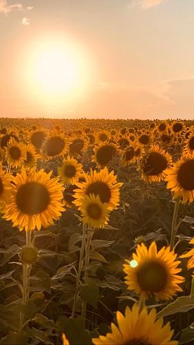 sidorfarm northforkchips farm mattituck yellow bloom flower summer iphonexs 2019 august northfork longisland sunset sunflowers sunflower