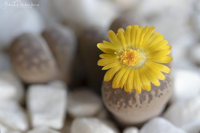 Flowering stones