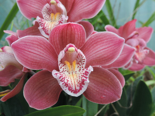 Pink Striped Orchid