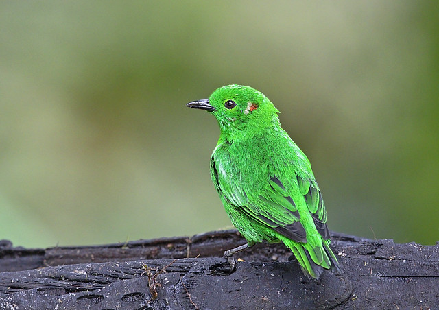 glistening green tanager