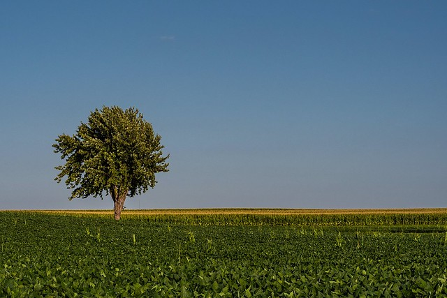 Lone tree kept company by corn and soybeans and wind. {Explore!}