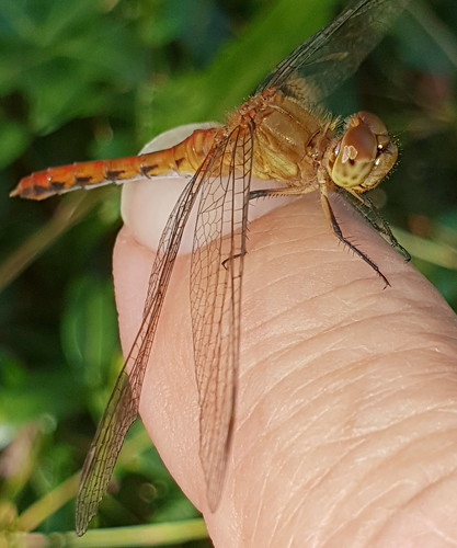 Small Dragonfly On My Finger Macro Taken With A Samsung S9+ 20190808_161029