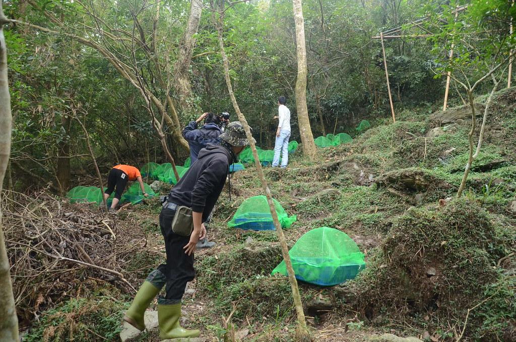 防病蟲害是金線連栽種的重點。圖片來源:林務局提供