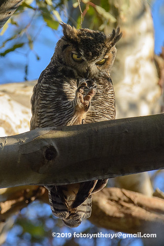 California Great Horned Owl (Bubo virginianus pacificus), adult DSD_9223