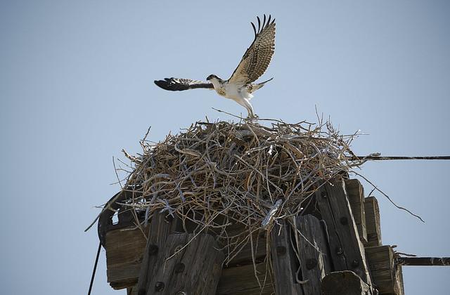 Osprey Fledgling