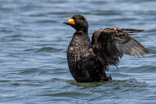 ny.jonesb.black scoter.1377