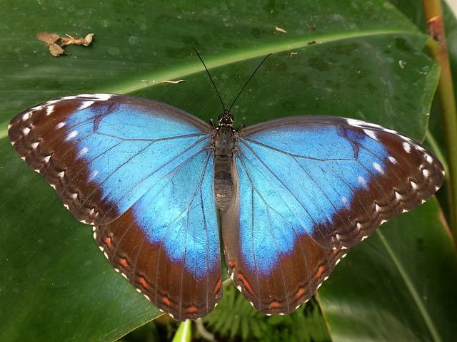 Morpho peleides - Morpho bleu (FR) - Blue Morpho (UK)