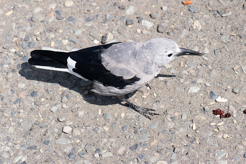 Clark's Nutcracker back view