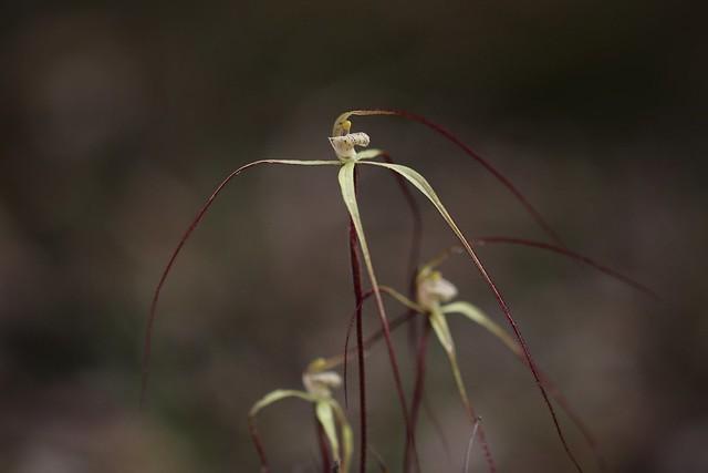 Caladenia dimidia - Chameleon Orchid