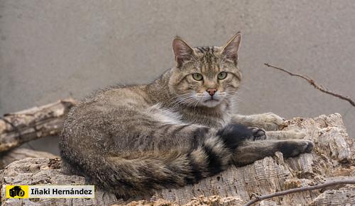 Gato montés europeo (Felis silvestris silvestris) - Sarriou