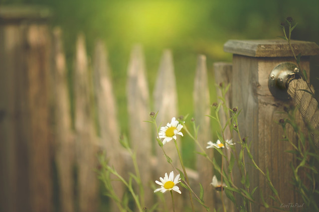 Daisy Fence... #HFF #HappyFenceFriday
