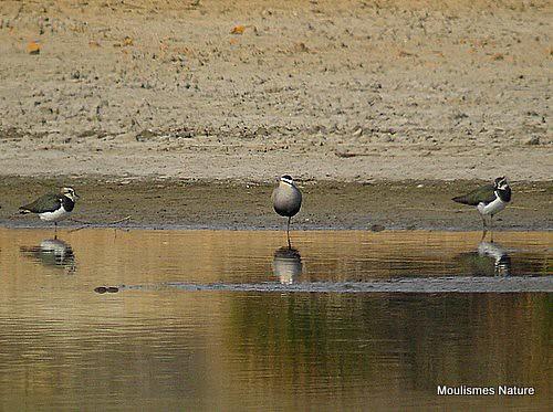 KICX0586. Sociable Plover (Vanellus gregarius)