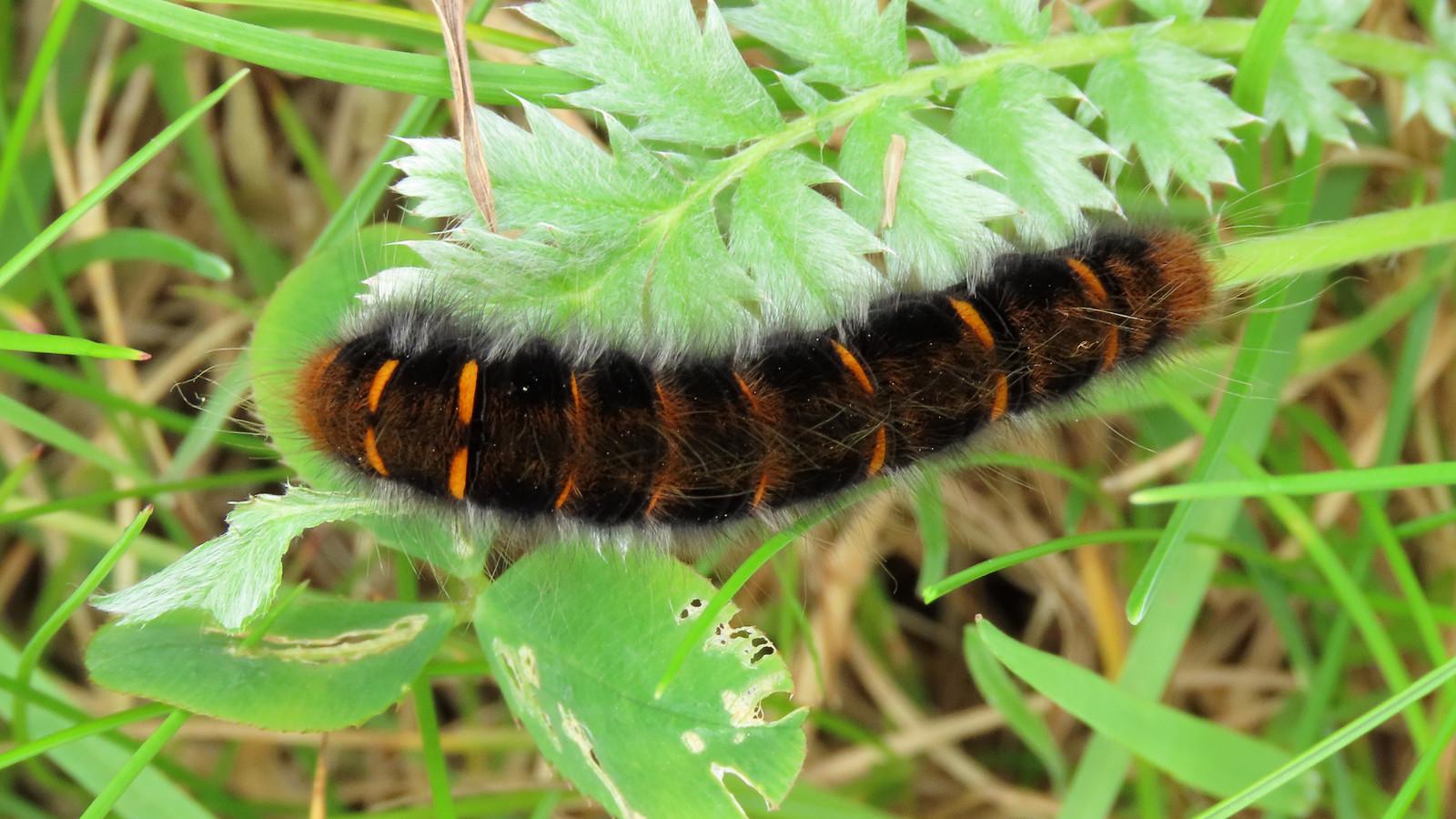 66.008 Fox Moth - Macrothylacia rubi