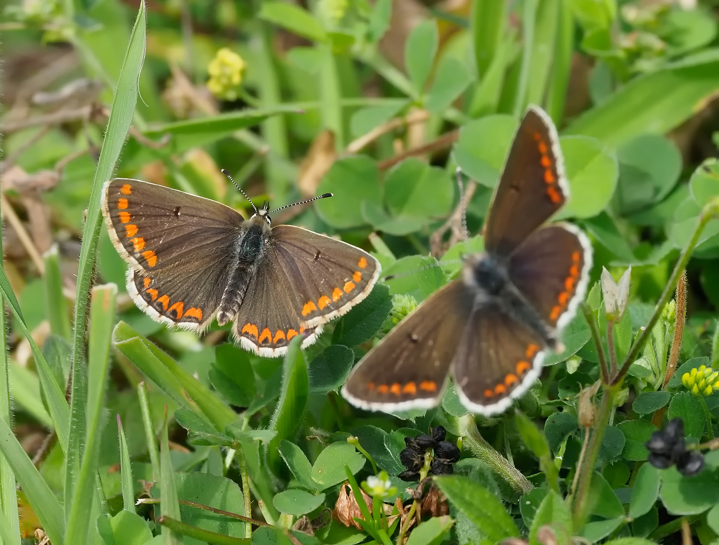 Brown Argus - stunners