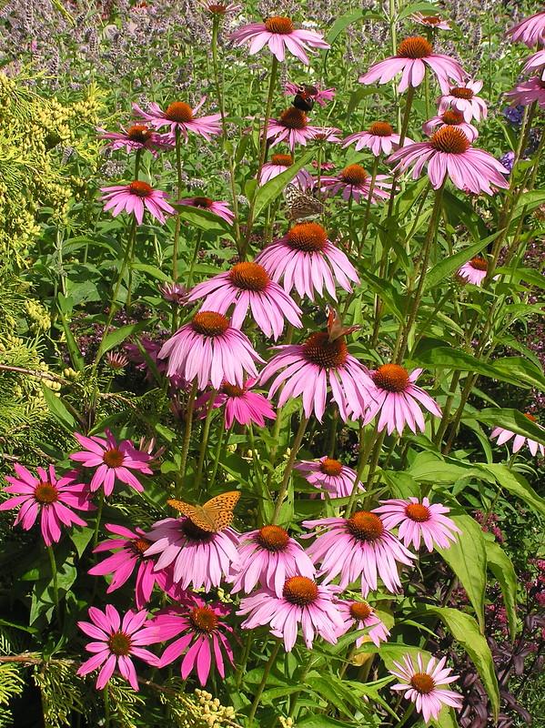 Echinacea 'Rubinstern' & butterflies