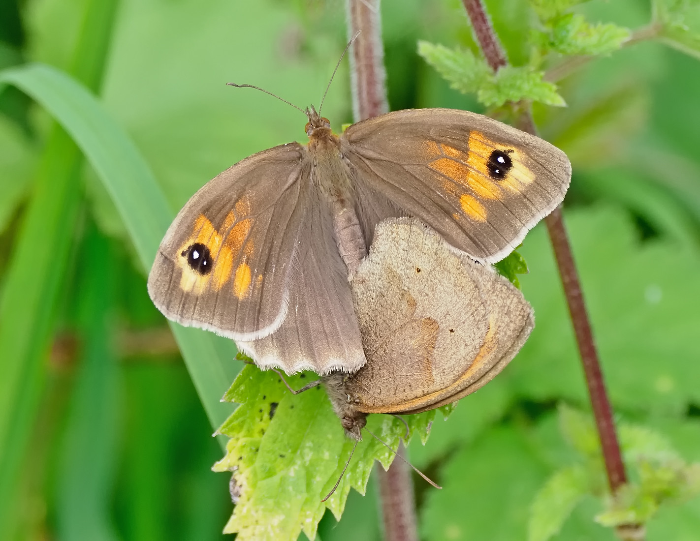 Meadow Brown - pair mating