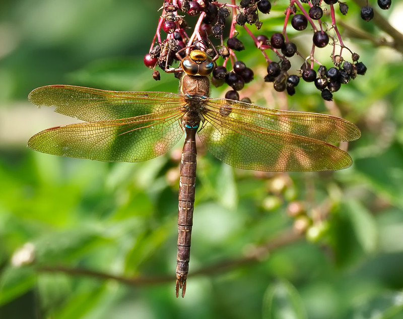 Brown Hawker - they hardly stop