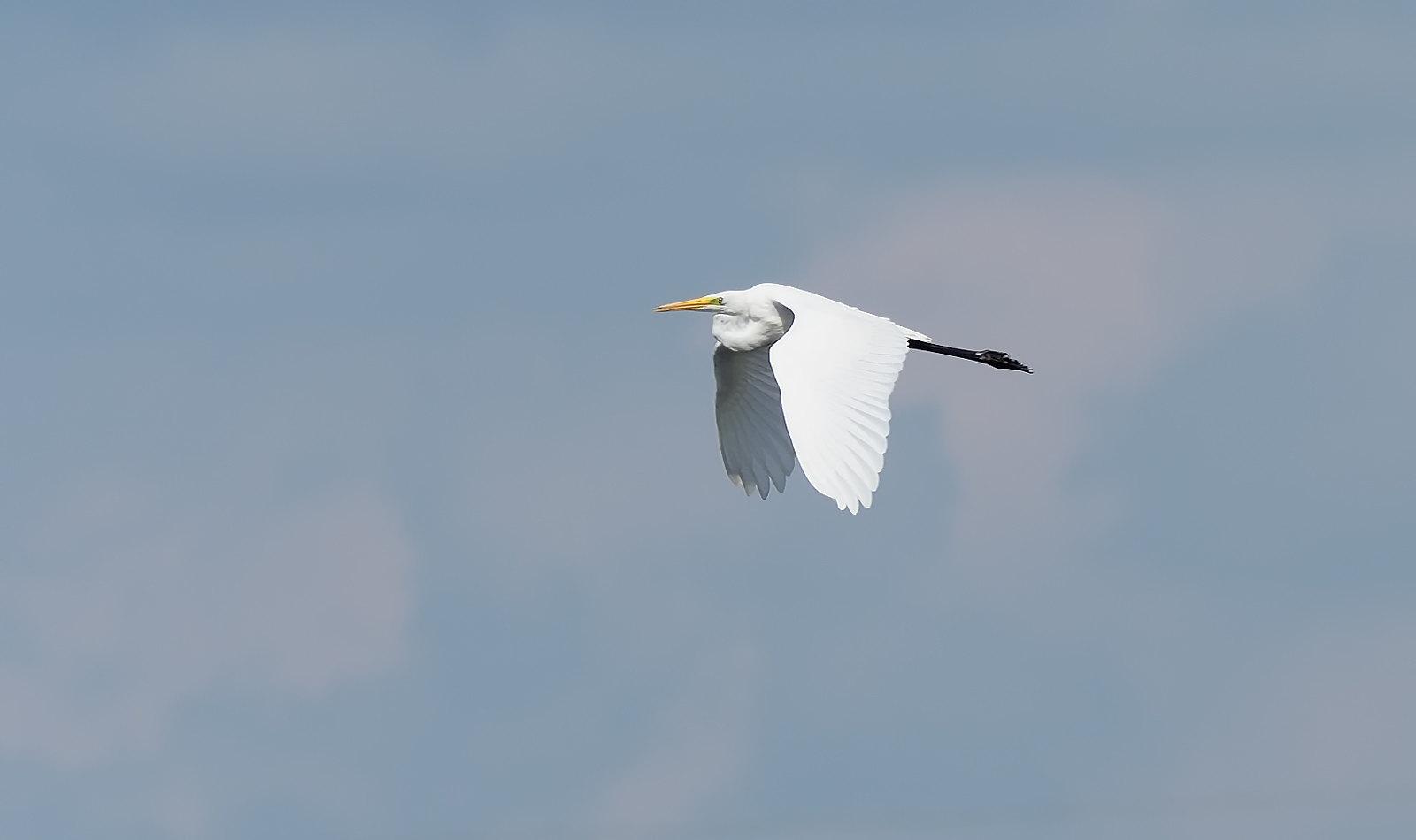 Great White Egret - flushed by a dog walker
