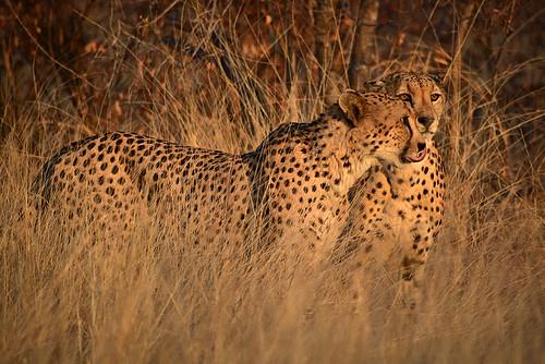 southafrica makalali kruger reserve sunset gheopard africa cheetah